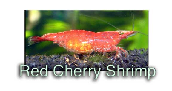 Red Cherry Shrimp Profile Guide Hard Water Alkaline Inverts